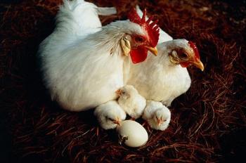 Цыплята Белого Леггорна.