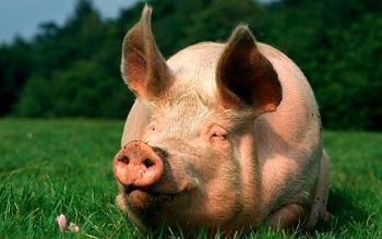 Большая свинья.