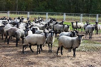 Самые востребованные овцы.