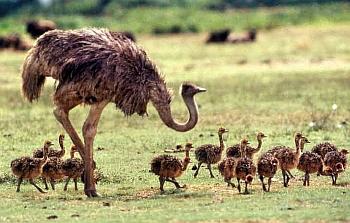 страусы в домашних условиях
